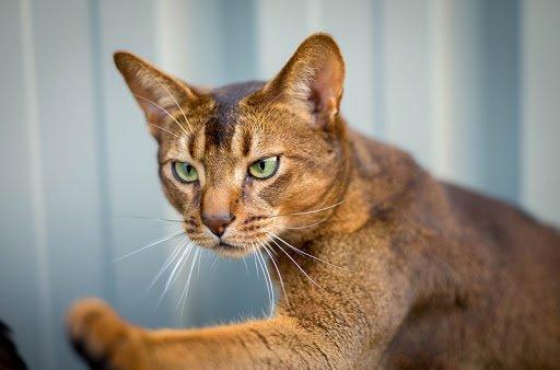 ТОП-3 породи кішок, які дружать з собаками