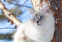 ТОП-3 породы кошек, которые хранят верность не хуже собак - today.ua