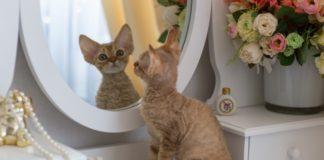 Дурні і безпосередні: ТОП-3 породи кішок, яких складно виховувати - today.ua