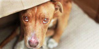 Бояться шуму, грому і висоти: ТОП-5 найбільш полохливих порід собак - today.ua