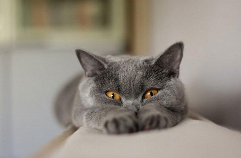 ТОП-3 породи кішок для ледачих господарів