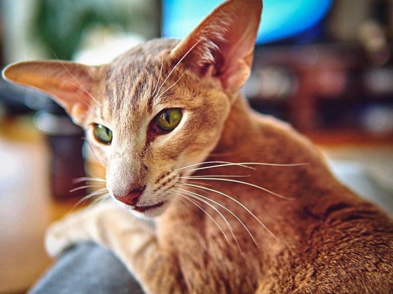 ТОП-3 найбільш балакучих порід кішок