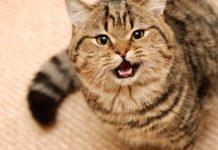 ТОП-3 самых разговорчивых пород кошек - today.ua