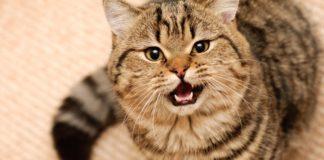"""ТОП-3 найбільш балакучих порід кішок """" - today.ua"""