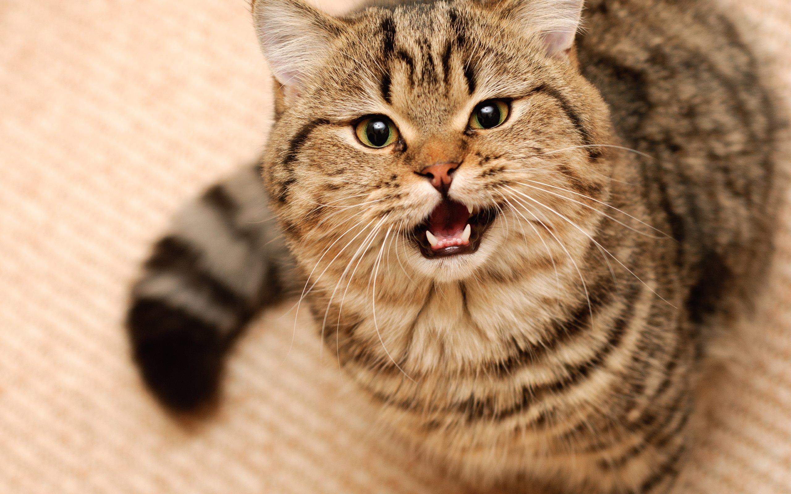 ТОП-3 найбільш балакучих порід кішок  - today.ua