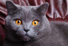 Настоящие королевы: ТОП-5 самых благородных пород кошек - today.ua
