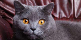 """Справжні королеви: ТОП-5 найбільш благородних порід кішок"""" - today.ua"""