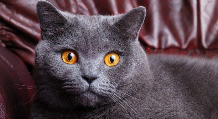 Справжні королеви: ТОП-5 найбільш благородних порід кішок - today.ua