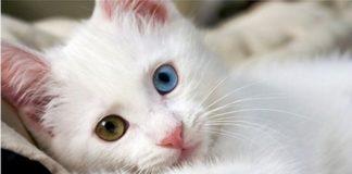 """Унікальне явище: ТОП-3 породи кішок з різнокольоровими очима"""" - today.ua"""