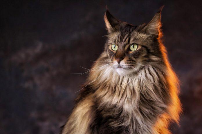 Недорогі красуні: 5 незвичайних порід кішок, які подобаються всім