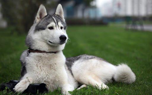 Всі нерви вимотають: ТОП-3 породи собак, які зовсім не слухаються господарів