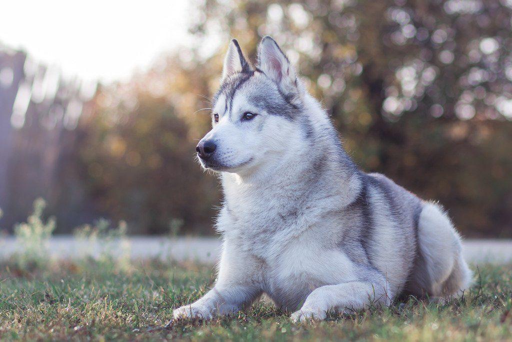 Запам'ятають і помстяться: ТОП-5 найбільш злопам'ятних порід собак