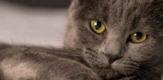"""Глибокий погляд і граціозна хода: ТОП-5 порід кішок, у яких не можна не закохатися """" - today.ua"""