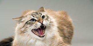 Небезпечні та агресивні: ТОП-3 породи кішок з непередбачуваним характером - today.ua