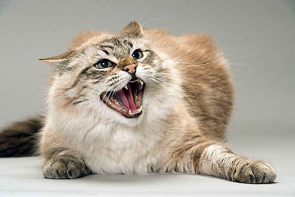 Опасные и агрессивные: ТОП-3 породы кошек с непредсказуемым характером - today.ua