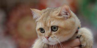 """Унікальні тварини: ТОП-3 найбільш незвичайних порід кішок у світі"""" - today.ua"""