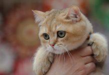 Уникальные питомцы: ТОП-3 самых необычных пород кошек в мире - today.ua