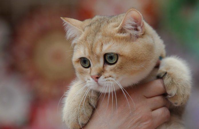 Унікальні тварини: ТОП-3 найбільш незвичайних порід кішок у світі - today.ua