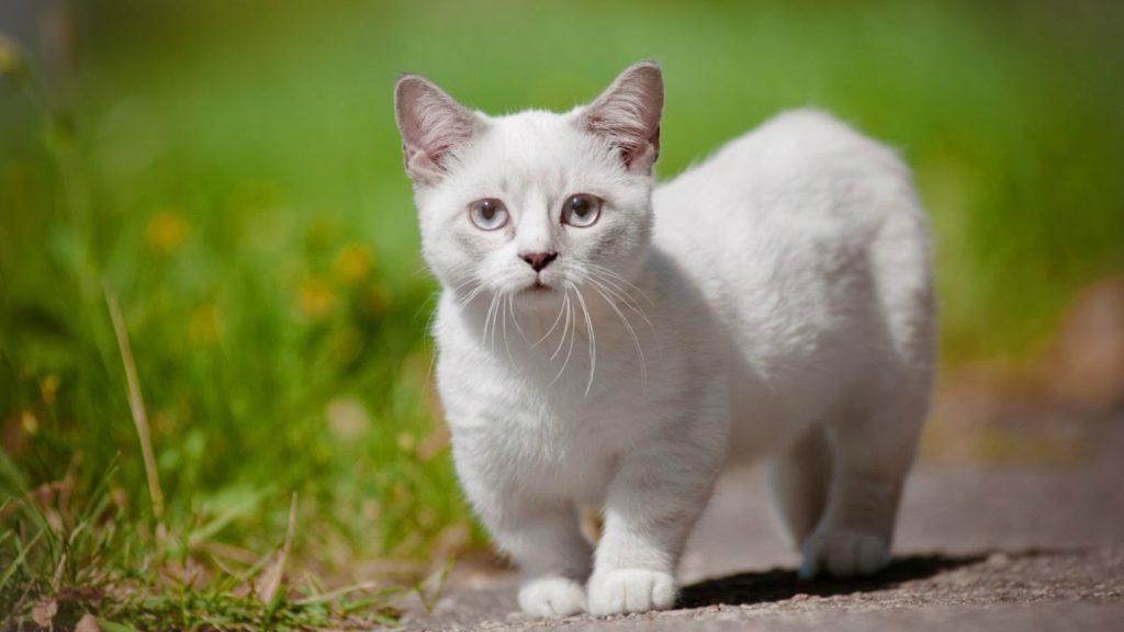 Эльфы и тойгеры: ТОП-3 самых необычных пород кошек