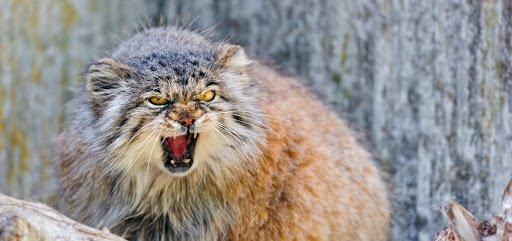 Опасные и агрессивные: ТОП-3 породы кошек с непредсказуемым характером