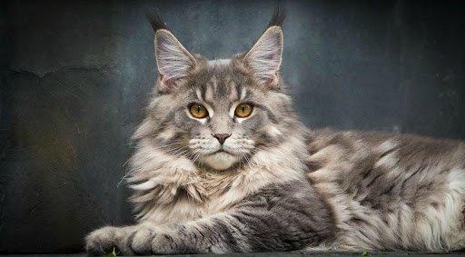 Справжні королеви: ТОП-5 найбільш благородних порід кішок
