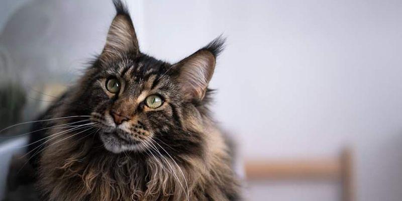 ТОП-3 породи кішок, які зберігають вірність не гірше собак