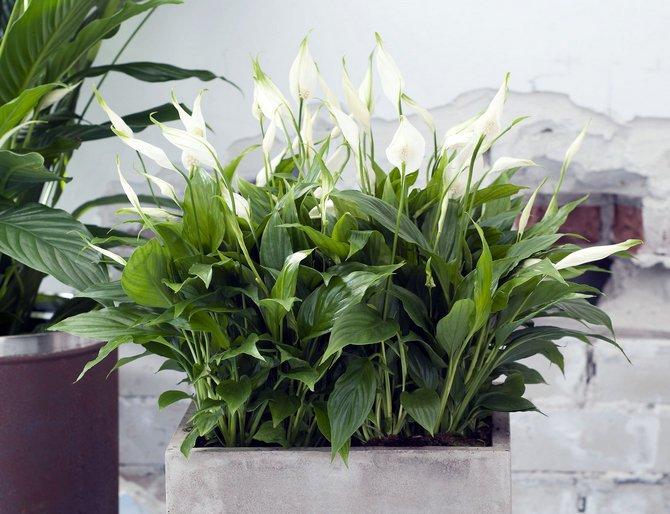 Кімнатні рослини, здатні не лише прикрасити життя, але й зміцнити ваше здоров'я
