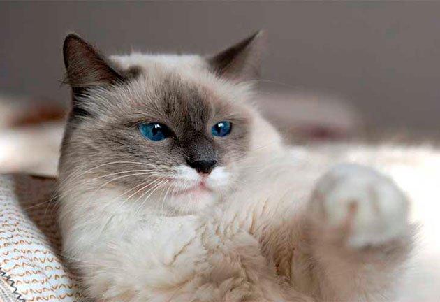 Глубокий взгляд и грациозная походка: ТОП-5 пород кошек, в которых нельзя не влюбиться