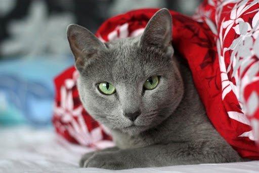 Глибокий погляд і граціозна хода: ТОП-5 порід кішок, у яких не можна не закохатися