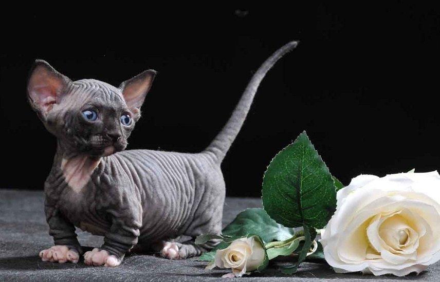 Милахи з короткими лапами: ТОП-3 незвичайних і кумедних порід кішок
