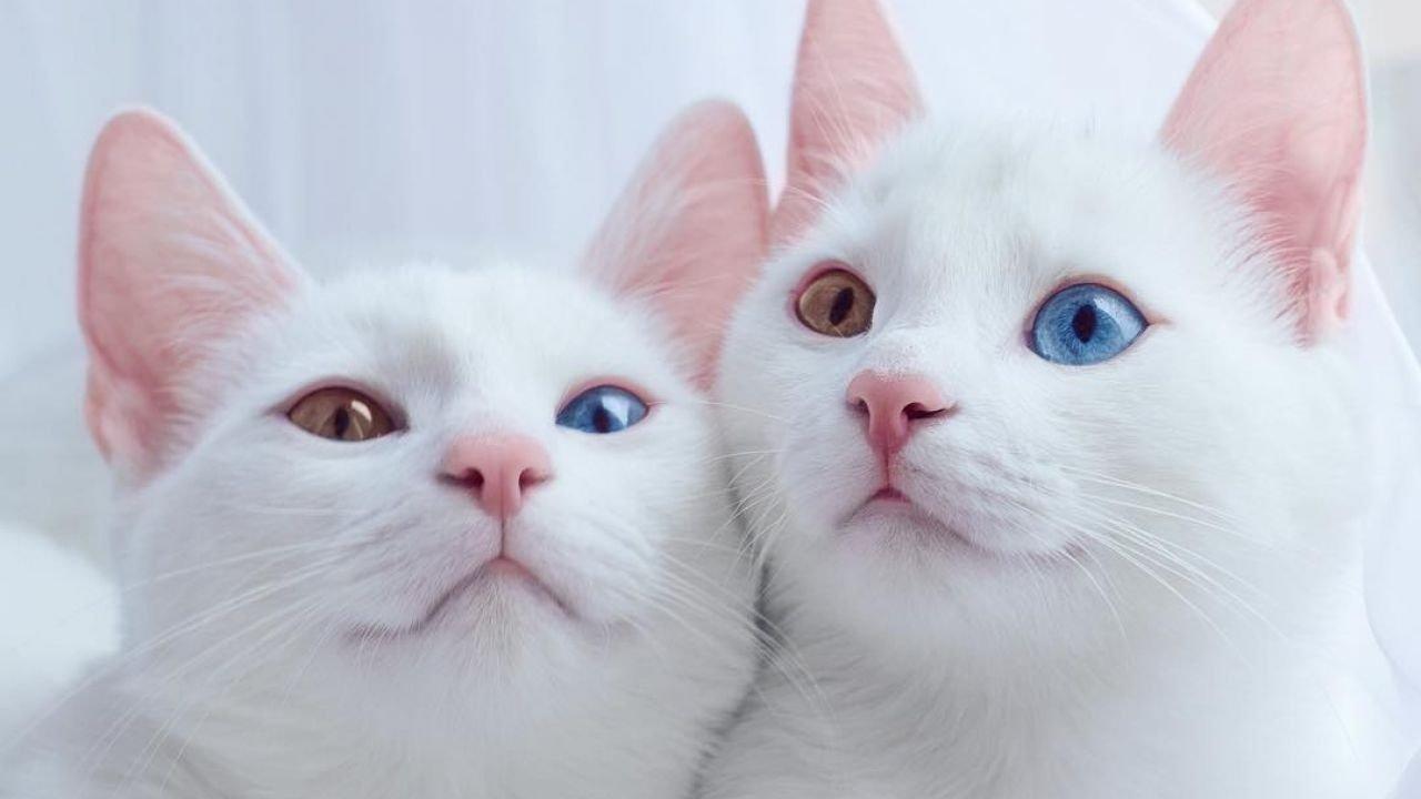 ТОП-5 пород кошек, которые сделают вас миллионером
