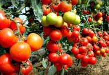 Помідори можуть бути небезпечними для здоров'я: кому протипоказаний овоч - today.ua