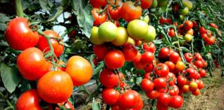 """Помідори можуть бути небезпечними для здоров'я: кому протипоказаний овоч"""" - today.ua"""