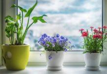Кімнатні квіти, що приносять нещастя і хвороби: 5 «злобливих» рослин - today.ua