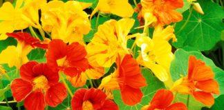 """Топ-3 найвитриваліших і корисних квітів для дачі та городу"""" - today.ua"""