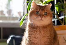 Кішки для замкнених людей: Топ-5 порід для тих, хто не терпить шуму - today.ua