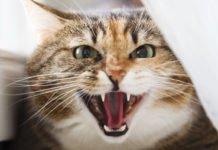 ТОП-3 самых опасных пород кошек - today.ua