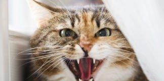 """ТОП-3 найнебезпечніших порід котів"""" - today.ua"""