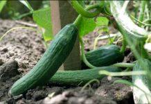Огірки можуть бути небезпечними: кому слід відмовитись від популярного овоча - today.ua