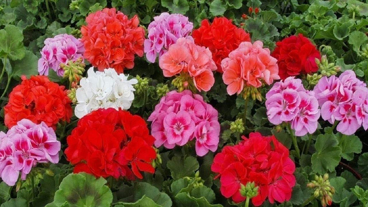 Самые опасные комнатные цветы: врачи назвали растения, провоцирующие аллергию