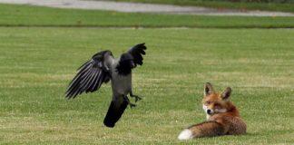 Свято 27 квітня: в День Мартіна Сповідника лисиць можна ловити голими руками - today.ua