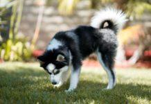 ТОП-5 гібридних порід собак з унікальною зовнішністю - today.ua