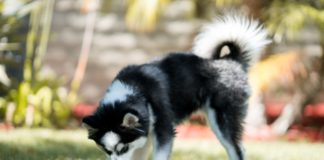"""ТОП-5 гибридных пород собак с уникальной внешностью"""" - today.ua"""