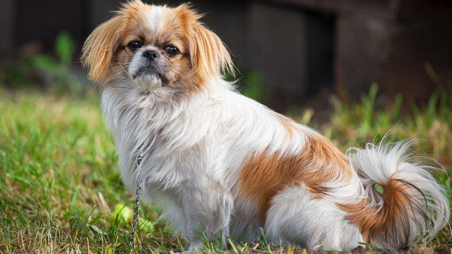 Не самые умные: ТОП-5 верных, но глупых пород собак