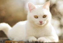 ТОП-5 самых красивых пород кошек с белым окрасом - today.ua