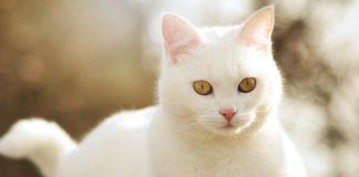 """ТОП-5 найкрасивіших порід кішок з білим забарвленням"""" - today.ua"""