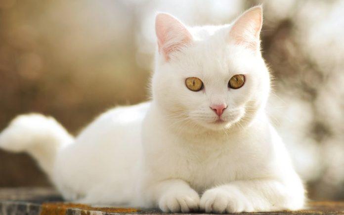 ТОП-5 найкрасивіших порід кішок з білим забарвленням - today.ua