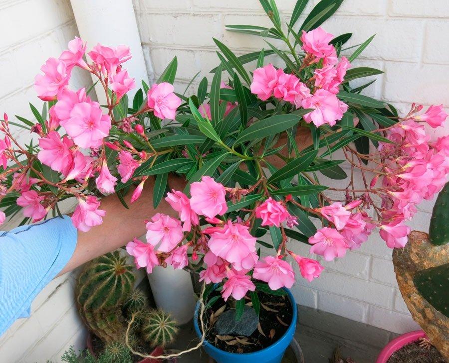 Комнатные цветы, приносящие несчастья и болезни: 5 «зловредных» растений
