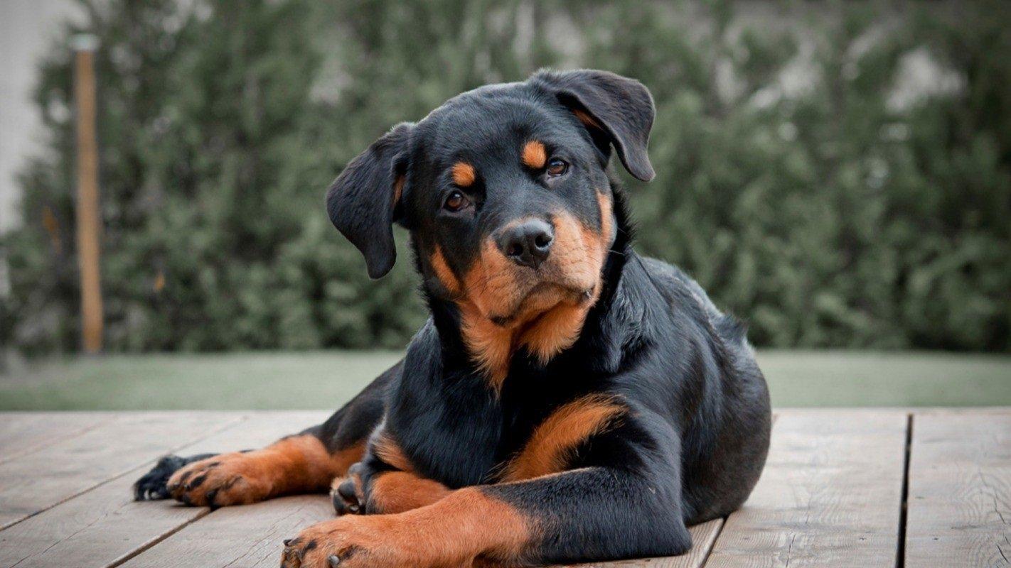 ТОП-3 непередбачуваних і агресивних порід собак, здатних напасти навіть на господаря