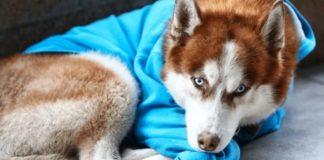 """Хаскі в блакитному светрі лежав біля торгового центру, але жалість до собаки виявилася марною"""" - today.ua"""